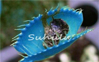 50 Pcs Bule Graines de plantes insectivores Potted Dionaea géant clip Dionée Graines Plante carnivore bricolage jardin