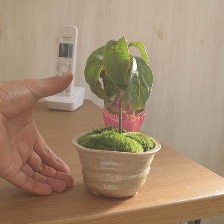 ハナミズキ鉢植え 花ミズキプチ 鉢植え