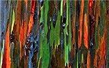 SANHOC 100 PC/Bag Regenbogen-Eukalyptus Bonsai tropischer Baum Plantas Hauptdekoration schöne Gartenpflanze Regenbogen Eukalyptusbaum: 6