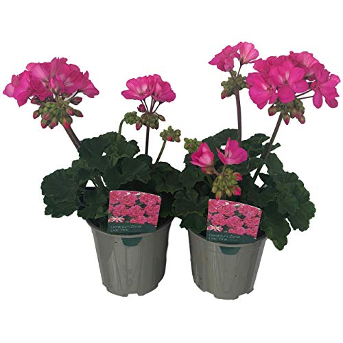 Twin Pack of 2 x 13cm 1ltr Extra Large Plants Garden Ready Flowering Pot Bedding - Doorstep Plants, Colours Planted & Grown. for Containers, Baskets, Patios & Beds. Geranium Zonal Pink