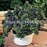 30 pezzi mirtillo bonsai series, heirloom blue berry fresco giardino, commestibile di frutta, interno, esterno disponibile di trasporto: nero