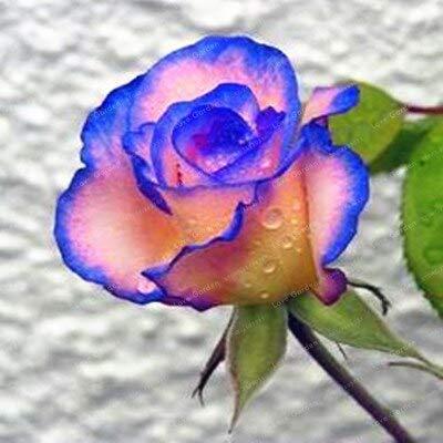 Generic Fresh 50 Pcs Rose Flowers SAMEN zum Pflanzen von Blue Pink