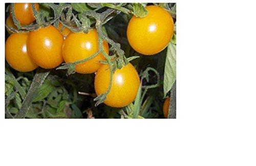 Lot de 30 Graines - Tomates Cerises Jaunes - Taille : 40 à 60 CM potager légume