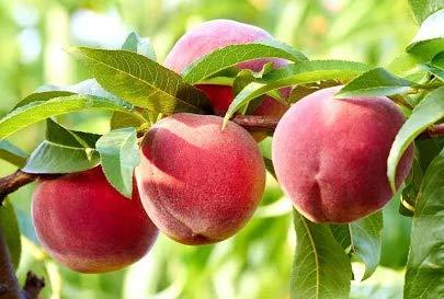 5 pcs Peach Tree Seeds Sweet Delicious Fruit Bonsai Seeds Dwarf Peach Tree Prunus