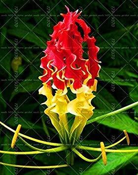 1pcs Wahre Lilie Zwiebeln, doppelte Blütenblätter Lilie Blumenzwiebeln (nicht Liliensamen) Bonsai Topf Blumenzwiebeln Zwiebelwurzel Lilium Pflanzen Staude 23