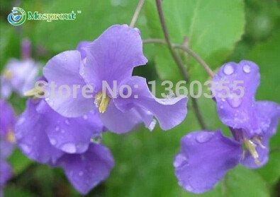 Orychophragmus violaceus, graines violet orychopragmus, les graines d'orchidées en Février, à environ 100 particules