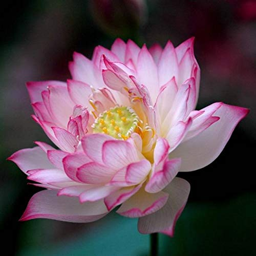 Liveseeds - Mini Polyphyll Rose Bonsai Lotus/Water Lily Flower/5 Graines Fraîches
