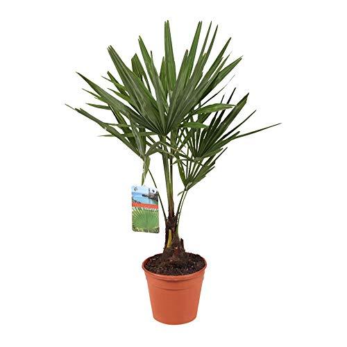 Trachycarpus fortunei | Chinesische Hanfpalme | Winterhart | Höhe 30-40cm | Topf-Ø 13cm