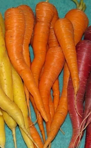 Carrot Seeds- St. Valery- Rare Heirloom- 300+ '18 Seeds