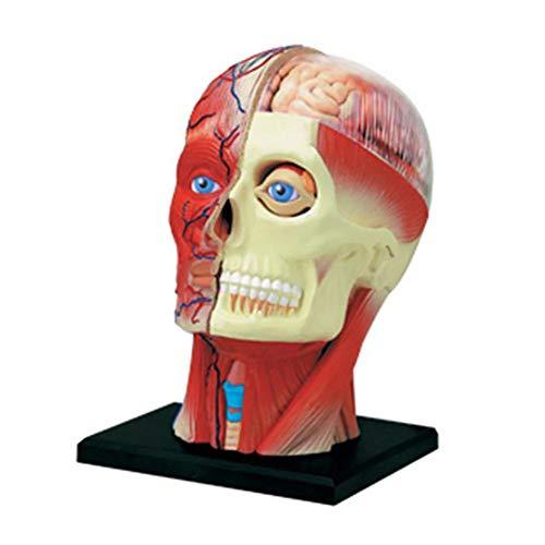 TJLJFTILTIR Menschliche anatomische Halb Kopf Gesicht Anatomie Medizinisches Gehirn Hals Medianschnitt Studienmodell Nervt Blutgefäß für den Unterricht