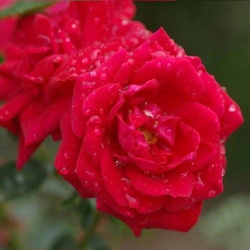New Dawn Rouge Kletterrose - Rot, Mehrjährig, Duftend & Winterhart | ClematisOnline Kletterpflanzen