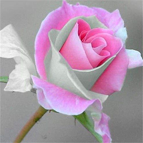 KK 1 Grand emballage, 50 graines, Rouge Rose Rose Fleurs Seed # NF416