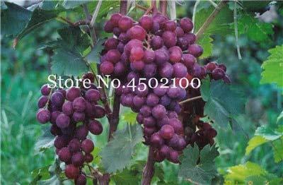 Shopvise 50 Pcs Divers raisin, fruits avancée Sweet Seeds Croissance Doux Naturel Raisin Flores Kyoho Raisin Gardening Fruit Graines: 15