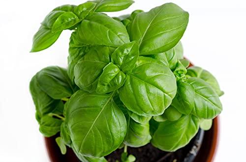 RDR Seeds Genovese Basil Seeds for Planting - Heirloom Non-GMO Sweet Basil Herb...