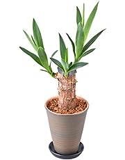 観葉植物 鉢植え インテリア グリーン 4号 陶器