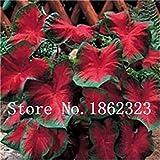100 Pcs Caladium Caladium Bicolor Fleurs Plantes d'intérieur Colocasia Plantes pour Jardin: Plante en Pot 13