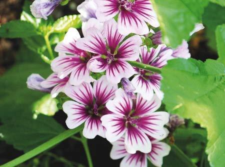 AIMADO Samen-10 Pcs Bio Wilde Malve Samen bienenfreundlich Blumensamen,lange Blühzeit Blumen als Zier- und Insektenfutterpflanze Saatgut für Garten