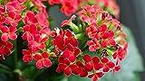 Genipap 100 piezas de color rojo Kalanchoe mini planta suculenta