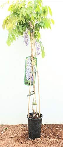 Chinesischer Blauregen Wisteria sinensis veredelte Kletterpflanze im Topf gewachsen (60-100cm)
