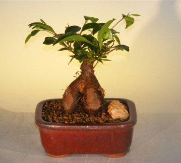 Bonsai Boy's Ginseng Ficus Bonsai Tree - Small Ficus Retusa