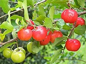 Zumari 30 semillas de plantas Malpighia Emarginata