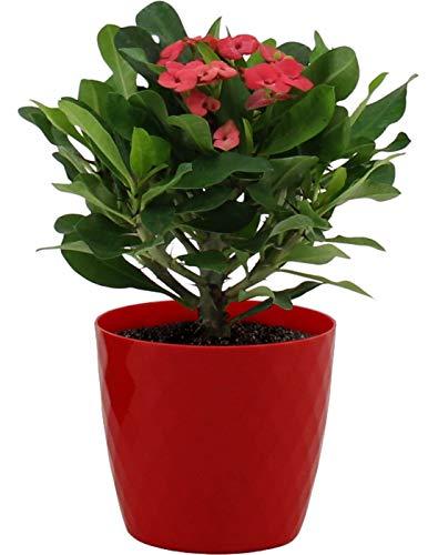 Zimmerpflanze von Botanicly – Christusdorn in rotem Glas-Übertopf als Set – Höhe: 20 cm – Euphorbia milii Miliiana Rosata