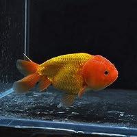 【金魚王子】ネコガシラ (10.5センチ前後) 個体番号:bnm184 金魚 きんぎょ 生体 ライオンヘッド 厳選個体