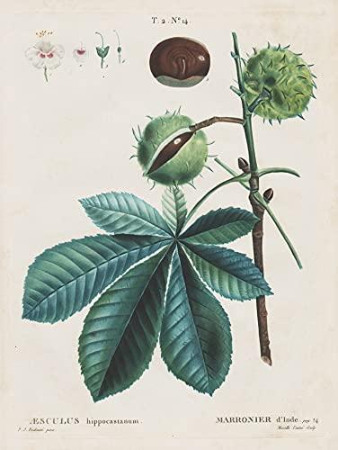 Aesculus hippocastanum. - Rosskastanie horse chestnut Botanik botany