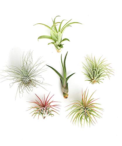 Shop Succulents | Live Air Plants Hand Selected Assorted Variety of Species, Tropical Houseplants for Home Décor and DIY Terrariums, 6-Pack Unique