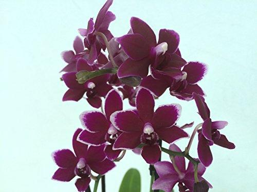 1 blühfähige Orchidee der Sorte: Phalaenopsis Black Pearl, traumhafte Orchidee vom deutschen Züchter