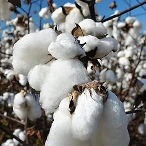 Elwyn 60pcs Cotton Plant Seeds Ranking integrated 1st Finally popular brand place