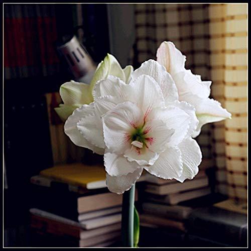 Rosa Blanco-Bulbos Amarilis,Bulbos de Amaryllis,Plantas En Macetas,Gran Amor Por Las Plantas,Creciendo En Tu Jardín, Natural, Muchos...