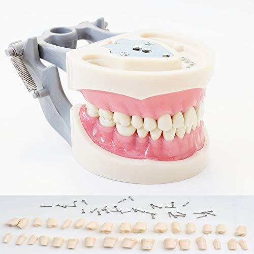 Typodont Model Kilgore Nissin 200 Type Removable Teeth,for Dental Hygiene