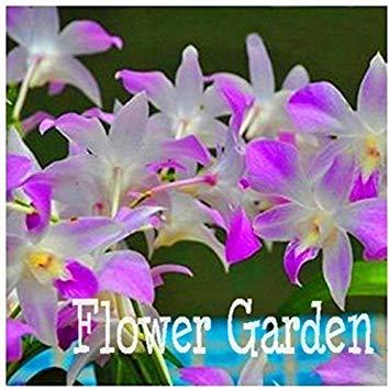 Vista 10 Stück weltweit Seltene Blumensamen japanische Radiata Orchidee Samen Für Garten und Zuhause weiße taube, GA7HQK
