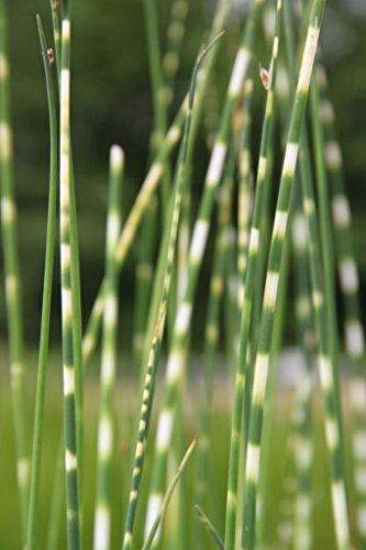 Wasserpflanzen Wolff - Scirpus tabernaemontani 'Zebrinus' (Schoenoplectus) - Zebrasimse