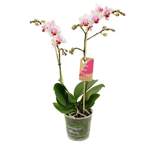 Orchidee von FAIR FLORA – Schmetterlingsorchidee – Höhe: 50 cm, 2 Triebe – Phalaenopsis Pico Sweet heart