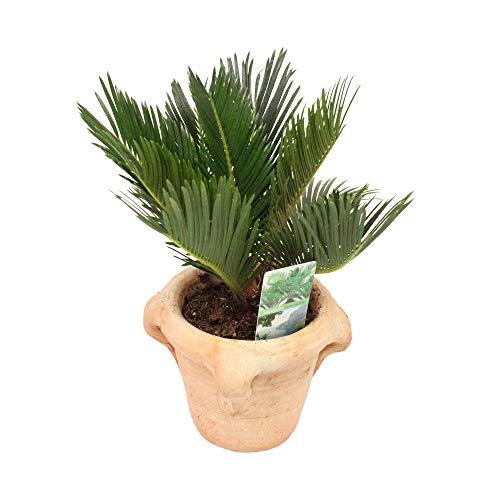 Zimmerpflanze von Botanicly – Palmfarn in terrakotta Übertopf als Set – Höhe: 35 cm – Cycas Revoluta Compact
