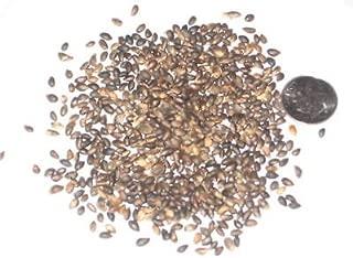 Dwarf Mugo Pine Tree Seed Pack, Pinus Mugo Pumilio Seeds Ideal For Bonsai Trees 10