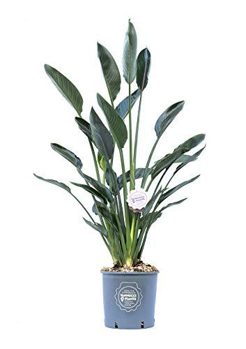 Strelitzia reginae, Pianta vera in vaso di Vannucci Piante, Pianta da terrazzo