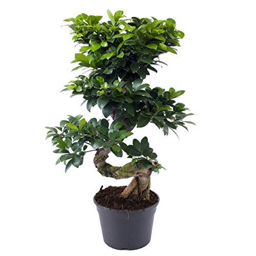 Plant in a Box - XL Ficus Ginseng Bonsaibaum - Höhe 60-70cm - 22cm Topf - Zimmerpflanze Bonsai