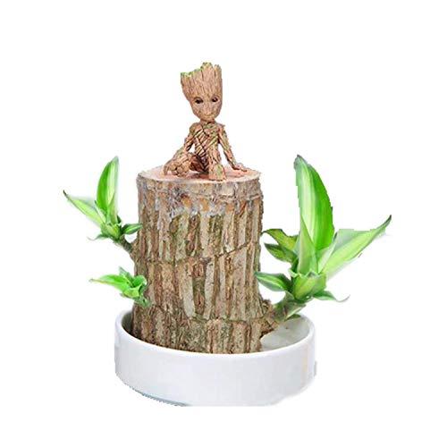 Glückliches Holz Brasilianisches Holz Topfpflanzen Hydroponische Pflanzen Innen- Desktop grüne Pflanzen Groot Reinluft Glück Holztopf Brasilianisches Holz
