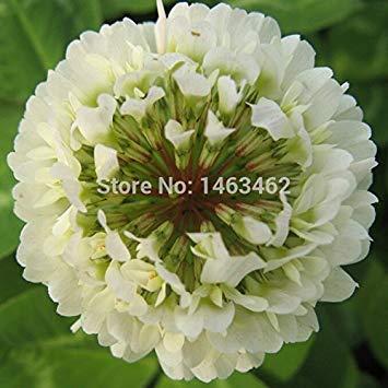 Vistaric 50 unids trébol de Cuatro hojas Seed Home Garden Decoración Bonsai Semillas de Flores belleza afortunado