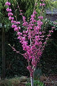 Amerikanischer Judasbaum, Cercis canadensis 'Forest Pansy', Höhe: 180-190 cm