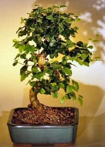 Bonsai Boy's Flowering Ligustrum Excellence Tree with National uniform free shipping Curved Trunk-M