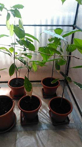 Bio-Saatgut nur Nicht Pflanzen: Cacao um, Cacao (50-60 cm) mit der Faehre