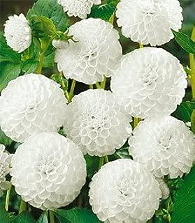 Dahlia - Ball - Snowflake 3 bulbs