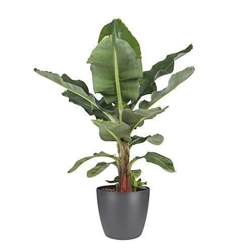 Zimmerpflanze von Botanicly – Bananenpflanze in anthrazitfarbenem Übertopf als Set – Höhe: 70 cm – Musa