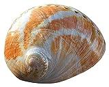 GaoF 13-15cm Grandes Adornos de Concha de Concha de abulón Natural Hechos a Mano DIY Materiales de decoración de Acuario Conchas de mar para decoración