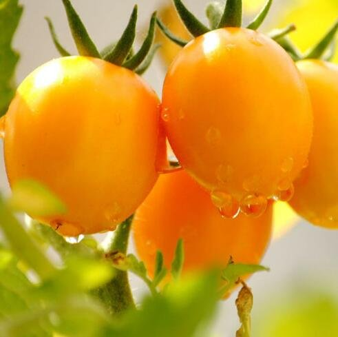 100 pcs/paquet Précipité nouvelles Plantes d'extérieur Promotion Jardin semences de tomates en pot fruits Bonsai Balcon de semences de légumes 11