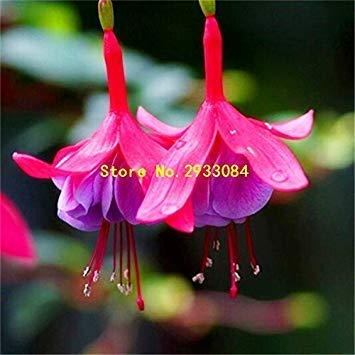 100 Fuchsia Seeds, Bonsai Hanging Flowers F.Alba Coccinnea DIY Planting Flowers Red